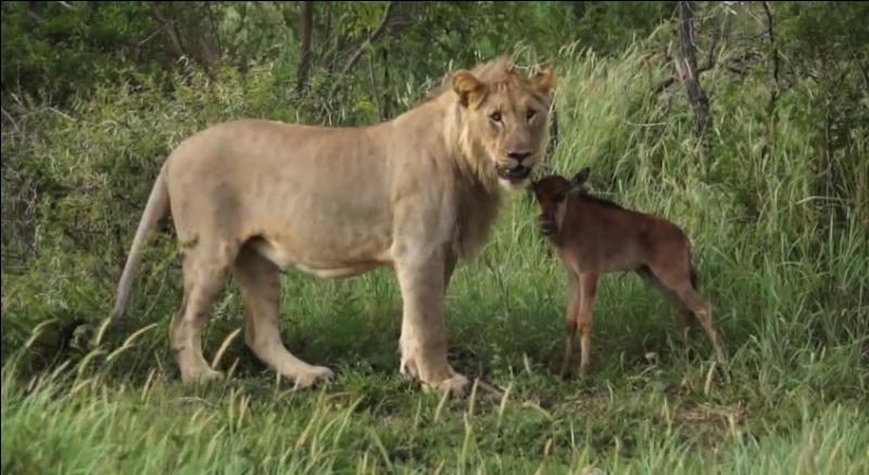 Ce petit animal est très souvent la proie du guépard ou du lion, mais sur cette photo le lion semble vouloir le protéger !