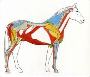 Quel est le nom des muscles représentés en rouge ?