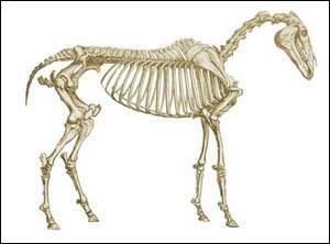 Combien d'os le cheval possède-t-il environ ?