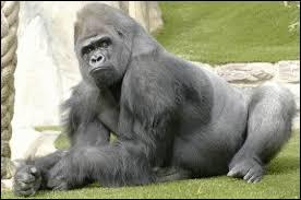 Quelle est la femelle du gorille ?