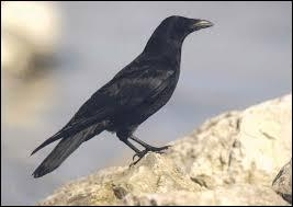 Quelle est la femelle du corbeau ?