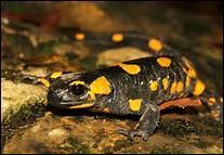 Caractérisez le genre de la famille des Salamandridae.