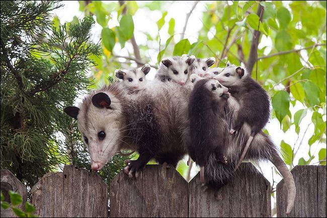 Cette maman se promène avec ses petits sur le dos, qui sont-ils ?