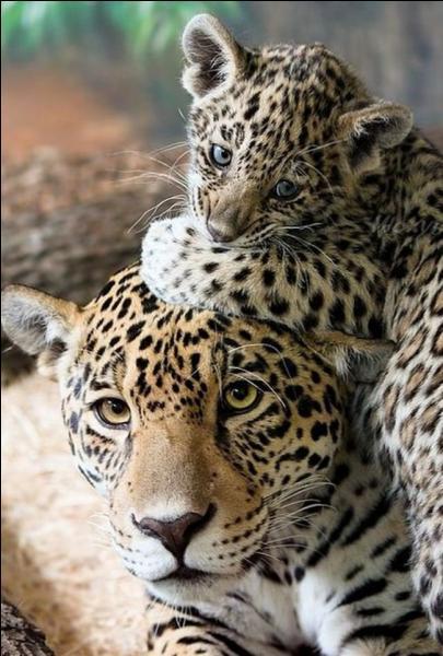 C'est en Afrique et en Asie que tu peux voir ces félins, trouve leurs noms ?