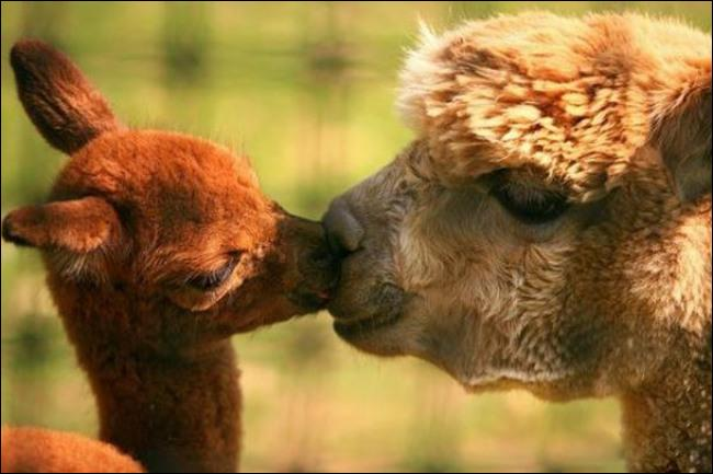 C'est dans les Andes d'Amérique du sud que tu peux admirer ce bébé, qui est-il ?