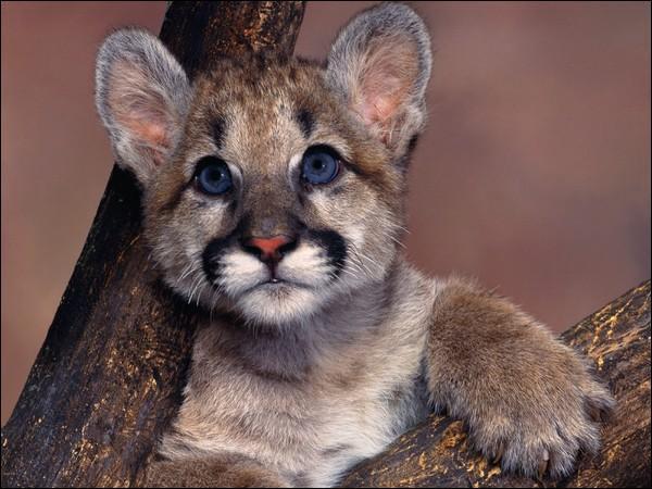 Félin des Amériques, c'est un chasseur redoutable, quel est ce bébé ?