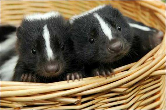 Ils sont mignons comme tout, mais il ne faut pas les énerver, attention aux vilaines petites mauvaises odeurs !
