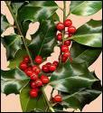 Quelle cette plante qui nous sert de décoration de Noël ?