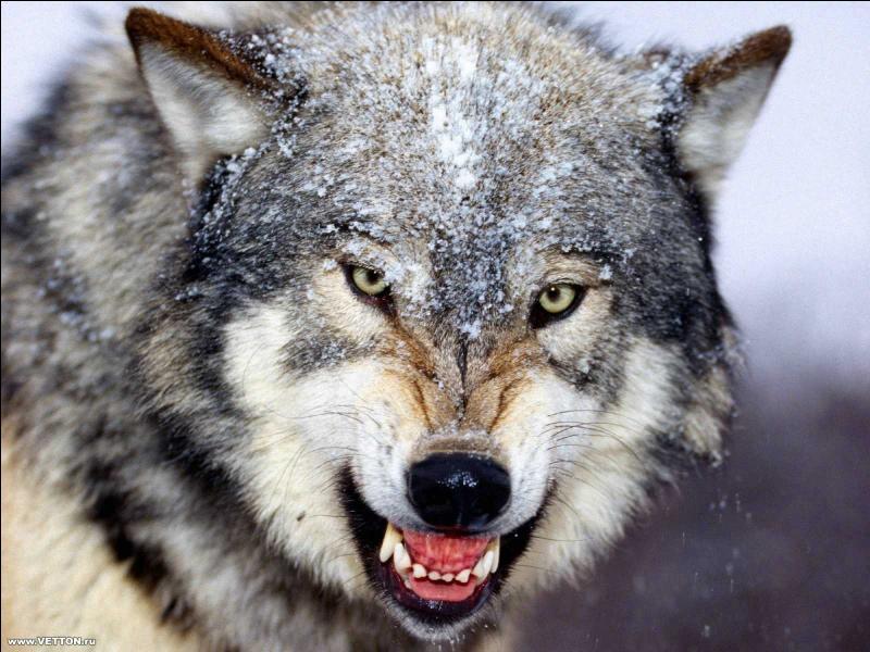 Le petit Chaperon Rouge dit d'abord au loup...