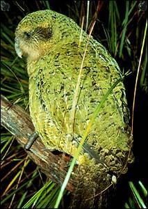 Ce perroquet-hibou ou kakapo, vivant en Nouvelle-Zélande, est en danger critique d'extinction.