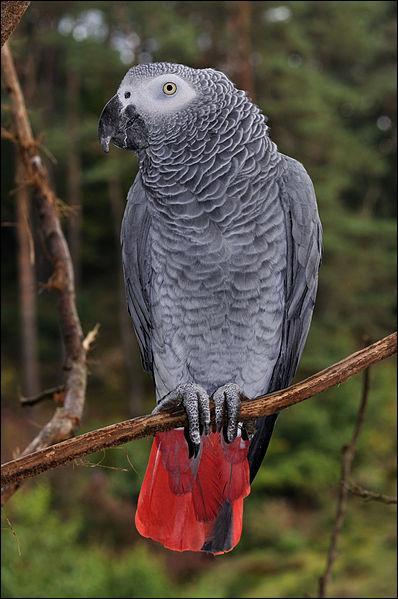 Certains perroquets sont capables d'imiter la voix humaine.