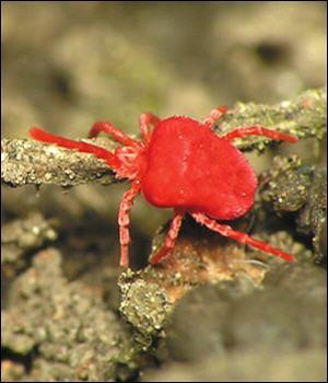 Arachnides de taille minuscule, microscopique, ce sont...