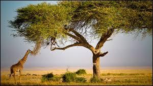 La girafe saisit les pousses de cet arbre avec sa langue. Quel est le nom de cet arbre ?