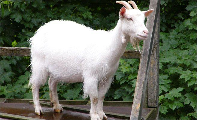 """Comment dit-on """"chèvre"""" ?"""