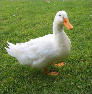 """Comment dit-on """"canard"""" ?"""