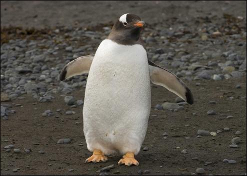 """Comment dit-on """"pingouin"""" ?"""