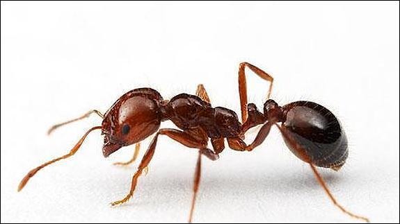 """Comment dit-on """"fourmi"""" ?"""