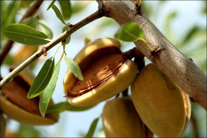 Enveloppe charnue qui couvre la coque des noix et des amandes :