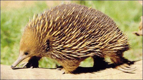 Mammifère d'Australie, couvert de piquants et au bec corné :