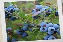 Le bleuet, est une vraie perle bleue du Nouveau monde, délicieux et plein de ressources ! Où trouve-t-on ces cousins des myrtilles ?