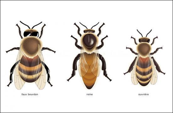Dans une ruche, la reine des abeilles domestiques vit en moyenne 10 ans.