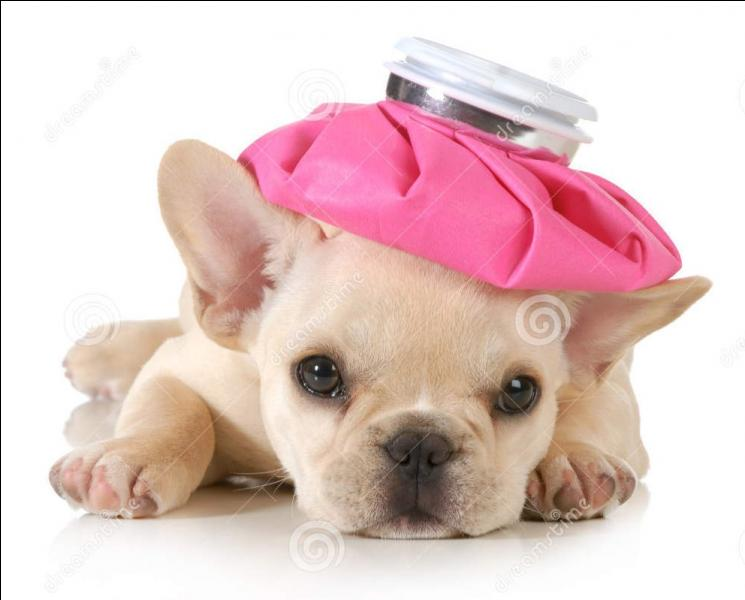 Votre vétérinaire est aux abonnés absents. Vous décidez de donner du paracétamol à votre chiot :