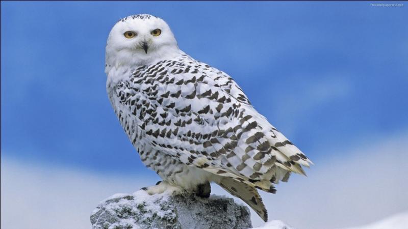 Cri des oiseaux rapaces nocturnes :
