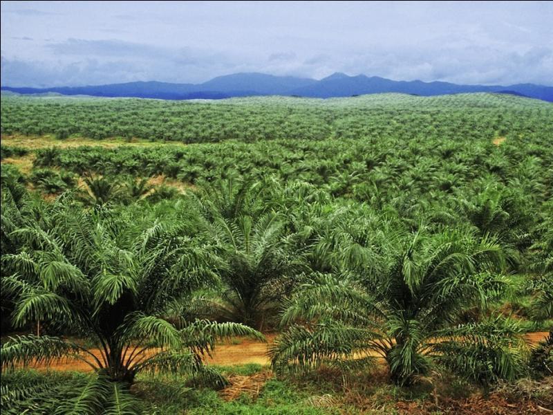 Palmier à huile fournissant l'huile de palme et l'huile de palmiste :