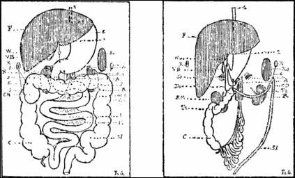 Troisième partie de l'intestin grêle, entre le jéjunum et le côlon :