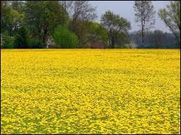 Quelles sont ces fleurs qui recouvrent les champs ?