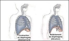 Lors d'une inspiration abdominale, notre diaphragme …