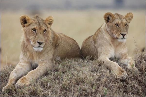 Quel chanteur interprète 'Les lionnes' ? (Indice : C'est un grand 'tamis') ;-)