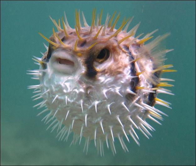 Quel est l'autre nom du poisson-globe ?