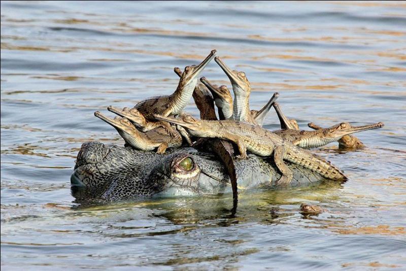 Trouve le nom de ces petits reptiles, sachant que l'on peut les voir en Inde !
