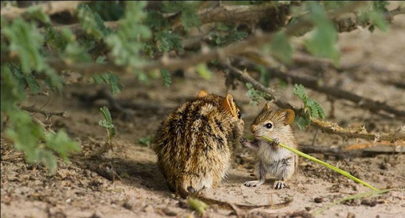 Tout comme le kangourou, ce petit animal se déplace en sautillant sur deux pattes, qui est-il ?