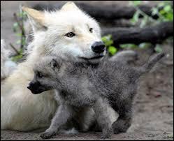 Du moment que tu ne t'appelles pas Naf-Naf, Nif-Nif ou Nouf-Nouf, tu n'as rien à craindre, quel petit animal est sur la photo ?