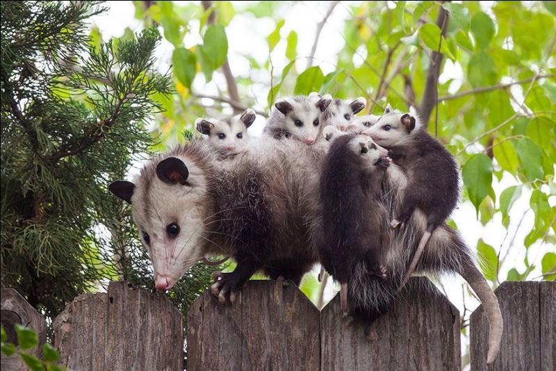 Maman transporte ses enfants sur son dos, qui est-elle ?
