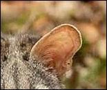 Mammifère carnivore nocturne au pelage gris taché de noir.