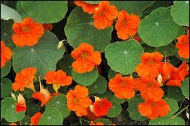 Elles sont si jolies ces fleurs qu'on les dévorerait volontiers. Ce sont des ...