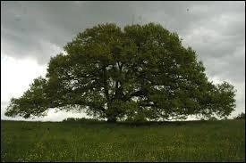 Cet arbre remarquable se trouve à Tombeboeuf, commune du Sud-Ouest de la France, en Aquitaine. De quelle espèce s'agit-il ? C'est un ...