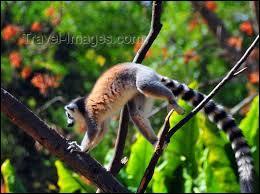 Lequel de ces animaux ne trouve-t-on pas dans le parc botanique et zoologique de Tsimbazaza, à Antananarivo ?