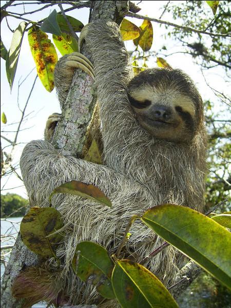 Comment appelle-t-on aussi cet animal arboricole d'Amérique tropicale nommé paresseux ?