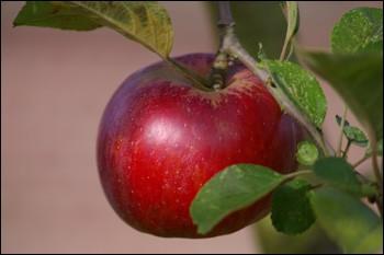 La pomme contient du cyanure :