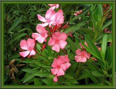 Le laurier rose est une plante toxique :