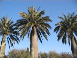 De quel arbre, poussant dans un pays tout en longueur, en Amérique du Sud, le sirop de palmier provient-il ?