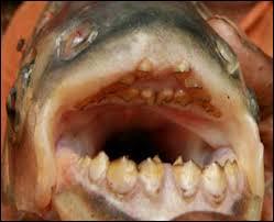 """Sur la photo, vous voyez un """"Pacu fish"""". Que peut-on dire de sa denture ?"""