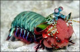 """La """"squille"""" est un crustacé très coloré de l'ordre des """"Stomatopoda"""". Après avoir bien observé la photo, comment l'appelle-t-on aussi ?"""