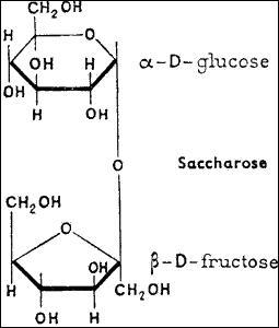 Deux sucres formés pendant la photosynthèse, le fructose et le glucose, s'associent pour former :