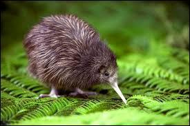 Le kiwi est un petit oiseau terrestre incapable de voler... A quel sketch pensez-vous ?