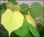 Que sont celles-ci qui commencent à perdre leur chlorophylle ?